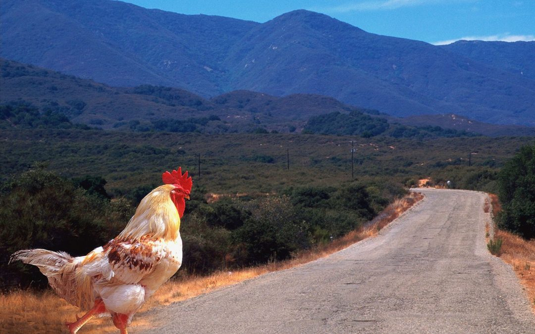 Why the Chicken crossed the road…